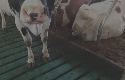 Oostbeton-rundveehouderij-header